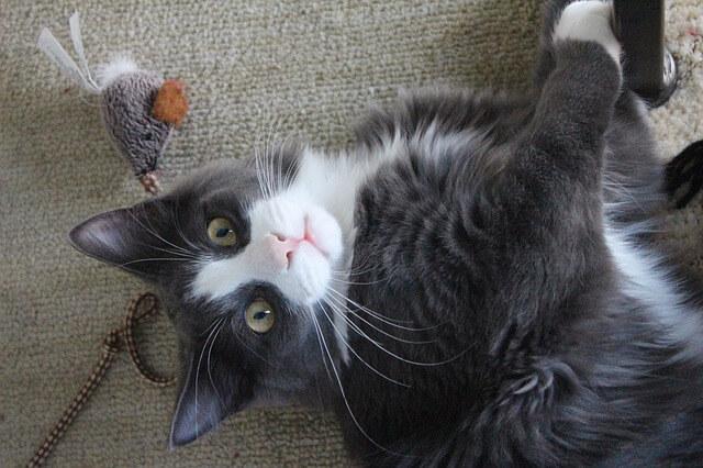 Katze liegt beim Spielen auf dem Rücken