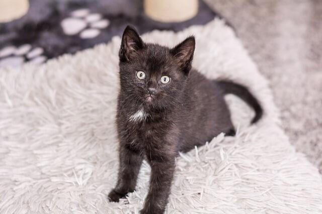 Kleines Katzebaby mit schwarzem Fell