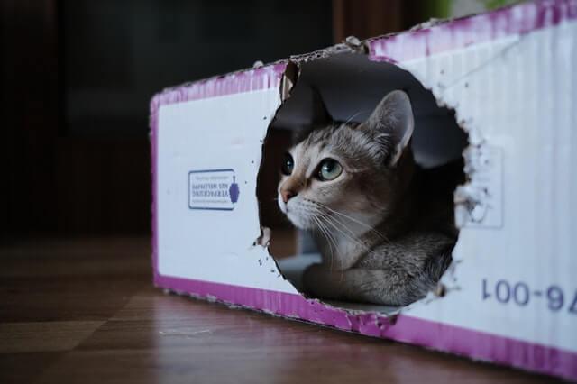 Katze sitzt im Karton und schaut fokussiert beim Spielen