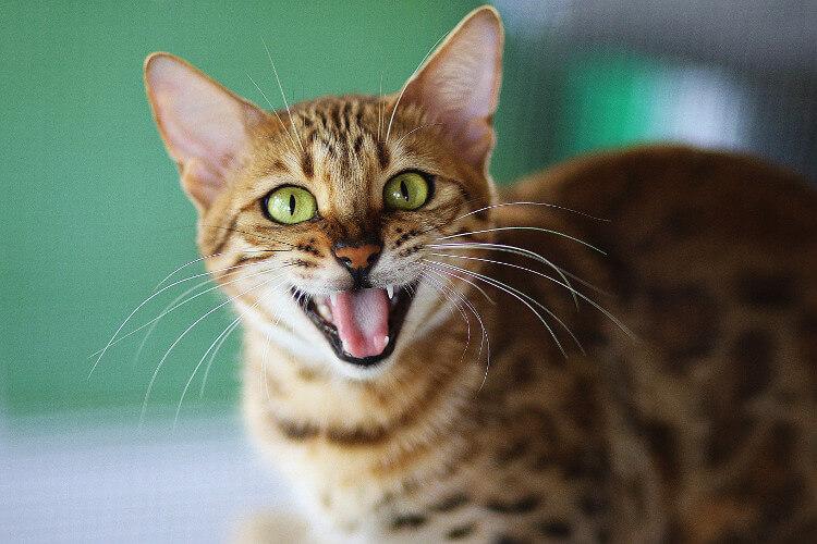 Katze grinst zufrieden