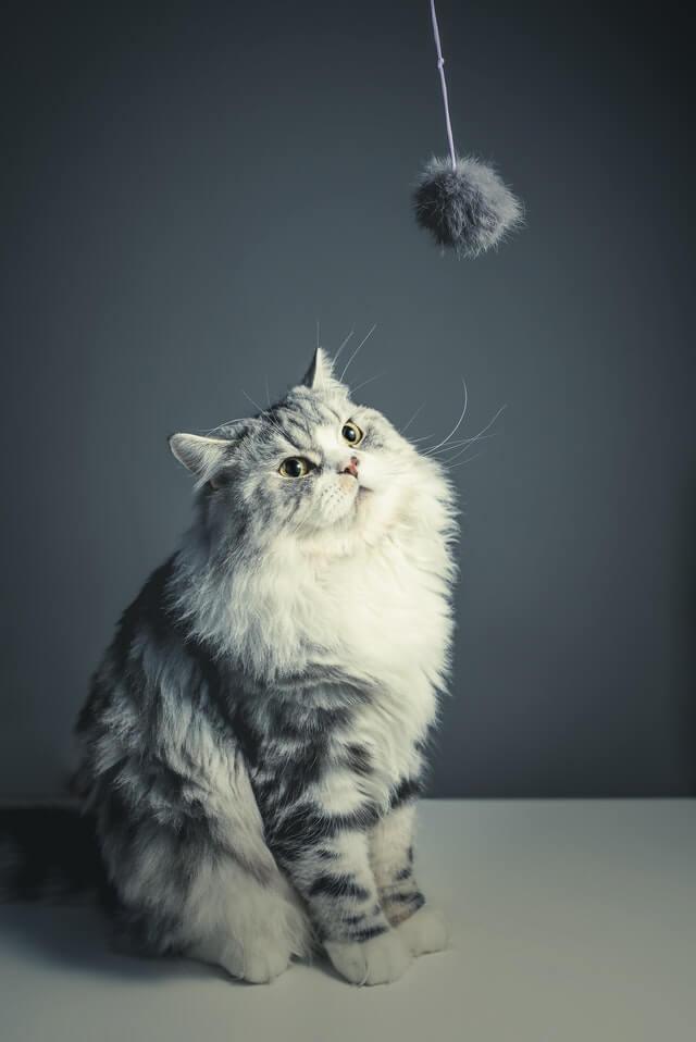 Weißgraue Katze schaut auf einen Hängeball