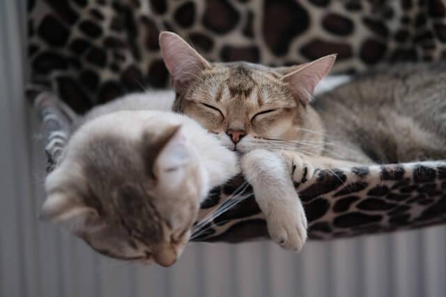 2 Katzen schmusen zusammen in der Hängematte