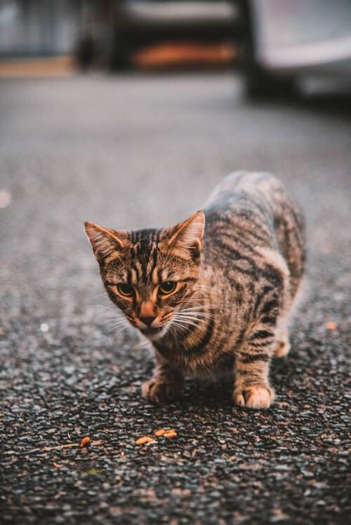 Eine angespannte Katze auf der Pirsch