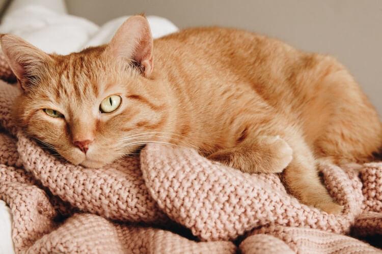 Katze entspannt sich auf einer rosanen Decke