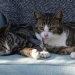 2 kastrierte Katzen liegen gemütlich auf dem Sofa