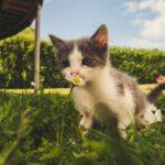 Babykatze riecht an Gänseblümchen
