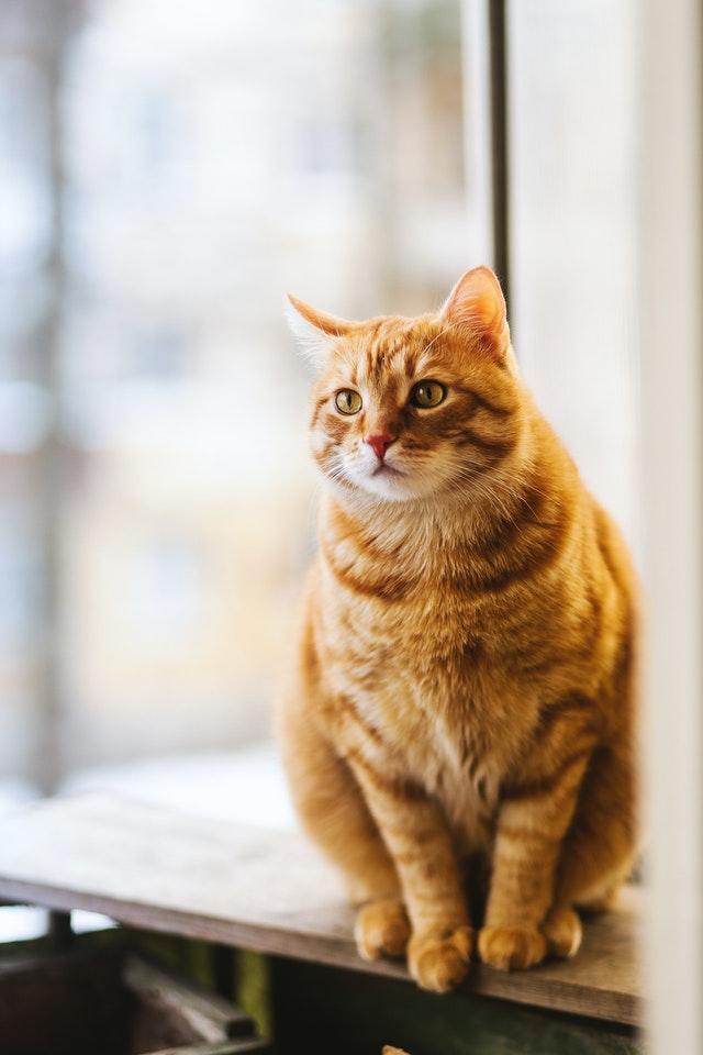 dicke Katze mit rotem Fell