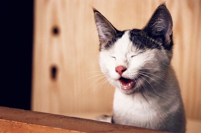 Katze mit offenem Maul