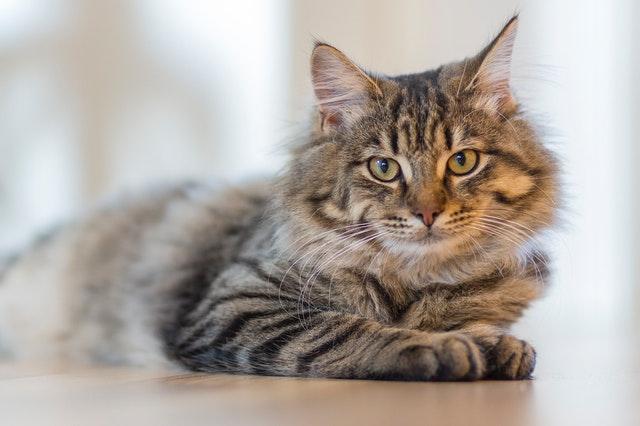 Katze mit langem braunen Fell