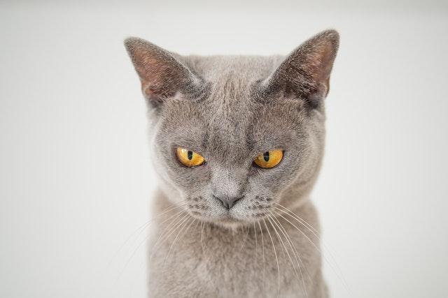 Nahaufnahme von grauer Katze